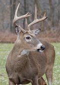 stock photo of deer rack  - Whitetail Deer Buck standing in an open field - JPG