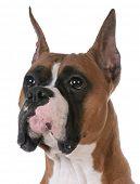 portrait of purebred boxer on white background poster