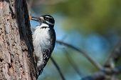 image of woodpecker  - Hairy Woodpecker looking for food in the bark of tree - JPG