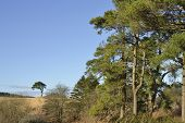picture of pinus  - Scots Pine Trees  - JPG