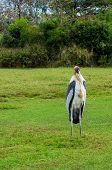 picture of long-legged-birds  - Beautiful scenic of Painted Stork Bird standing in the field - JPG