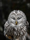 image of owl eyes  - Portrait of a ural owl with his eyes closed - JPG