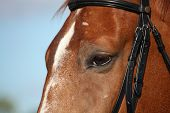 picture of bridle  - Chestnut sport horse head close up in summer with bridle - JPG