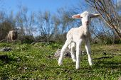 stock photo of maternity  - Baby lamb and her maternal watching mother Extremadura Spain - JPG