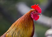 image of fighting-rooster  - Rooster spotted in the wild in Cork Ireland - JPG