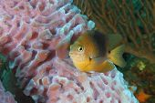 picture of damselfish  - Threespot Damselfish  - JPG