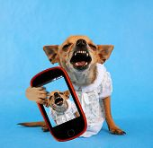 stock photo of growl  - a tiny laughing chihuahua dressed up in a tiny dress taking a selfie with a camera phone  - JPG