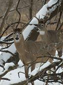 image of deer rack  - A pair of whitetail Deer bucks in the winter - JPG