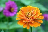 stock photo of zinnias  - orange zinnia flower in the garden on daytime - JPG