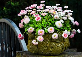 stock photo of pot-bellied  - White and pink bellis perennis in stone pot  - JPG