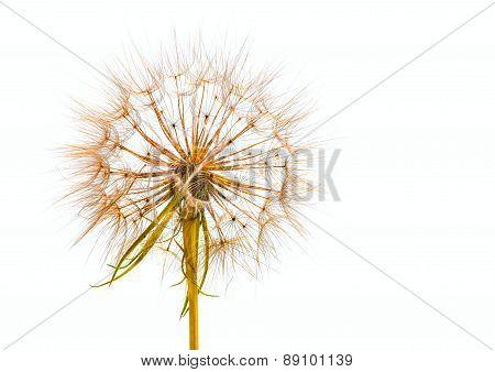 Salsify Or Dandelion Seed