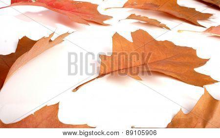 Close-up of autumn leaf - studo shot