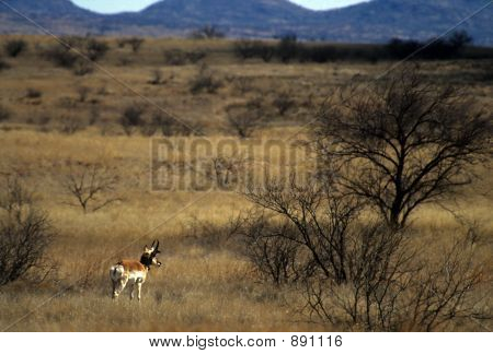 Male Pronghorn In Prairie Landscape