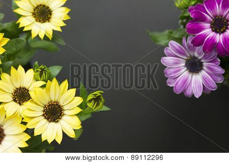 Daisies Top View