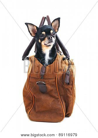 Cute chihuahua puppy sitting in brown bag isolated on white