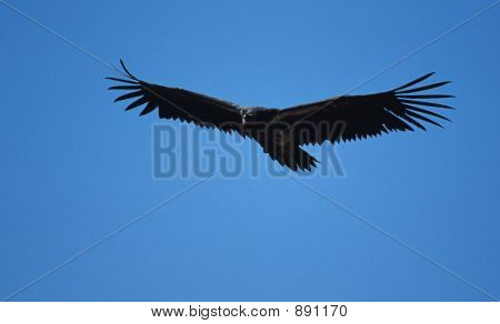 Vulture In Flight