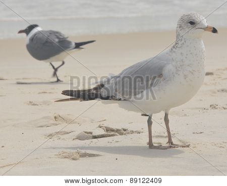 Laughing Sea Gulls