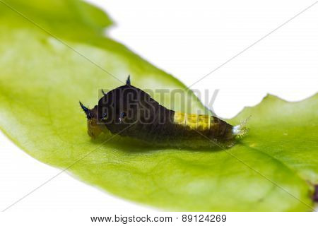 Young Tailed Jay Caterpillar