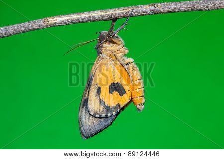 Othreis Fullonia Moth