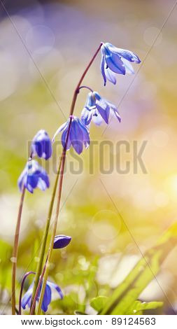 Blue Snowdrop - A Scilla Siberica