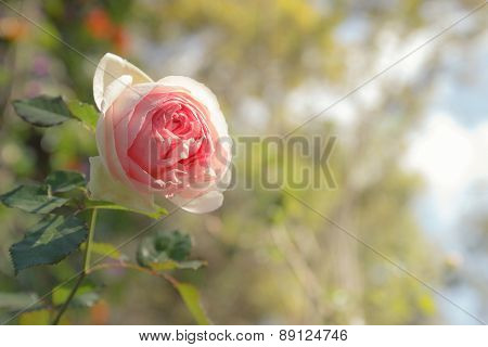 Pink Rose, Soft Focus With Yellow In Hilight