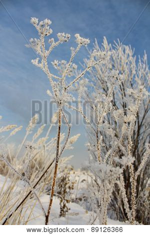 Dry grass in hoarfrost against the sky