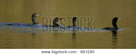 Four Cormorants