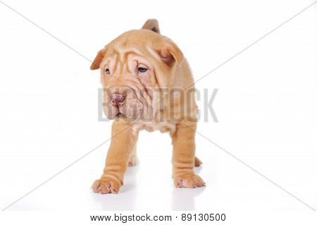 Cute Puppy  On White