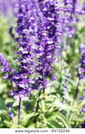 Blurry Defocused Purple Flower (blue Salvia) For Background