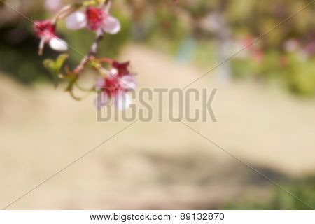 Blurry Defocused Blooming Pink Flower Of Wild Himalayan Cherry For Background