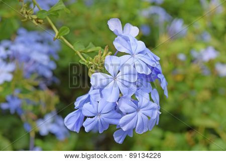Blue Periwinkle flower at full bloom on a summer day