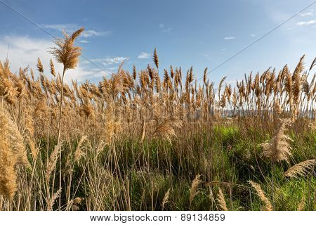 Reeds Against The Sky