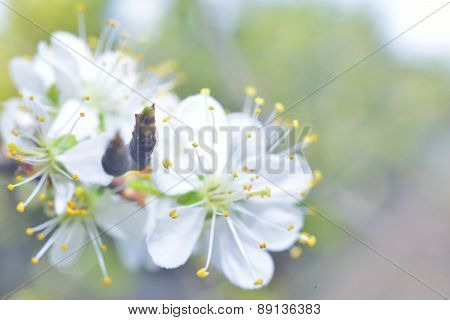 White Macro Spring Blossoms