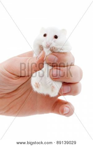 White Mouse In Human Hand
