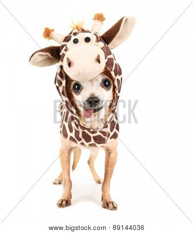 a cute chihuahua in a giraffe costume isolated on a white background studio shot portrait