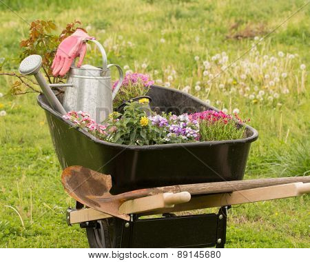 Wheelbarrow loaded with plants, tools and watering can ready for getting spring planting started