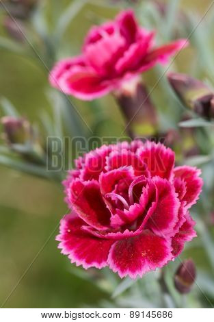 Beautiful burgundy Dianthus flower
