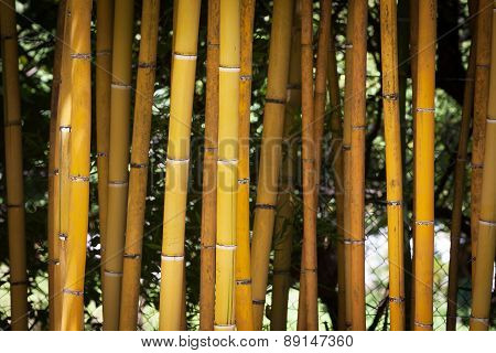 Detail Of Yellow Bamboo Canes.