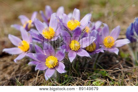 Flower Of Pasqueflower