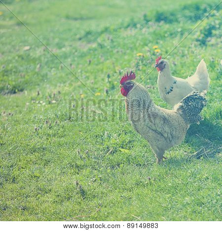 Hen on little farm in nature
