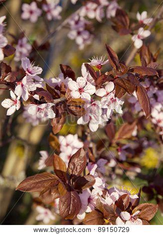 Pink Cherry Blossom In Spring Garden