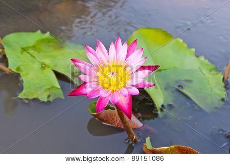 Beautiful Blossom Pink Lotus Flower.