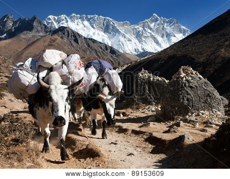 White Yak And Mount Lhotse - Nepal