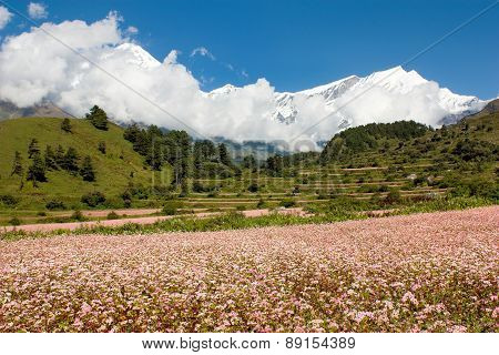 Dhaulagiri Himal With Buckwheat Field