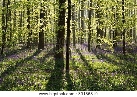 Spring Forest With Bluebell Flowers