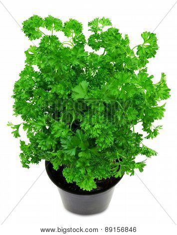 Fresh green parsley in a pot