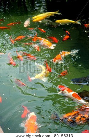 Beautiful oriental koi fish in ornamental pond.