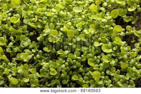 Seedlings. lot of young fresh green plants. Macro.