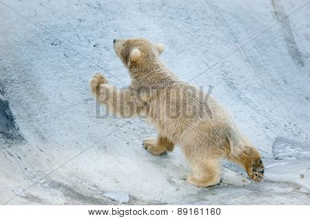 Little Polar Bear Baby Goes Up