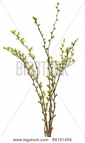 Fresh spring tree branch with leaves isolated on  white background.
